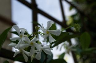 lil-jasmines