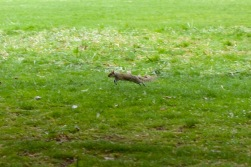 squirrels-in-st-james-park---london_16456224827_o