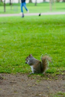 squirrels-in-st-james-park---london_16637604896_o